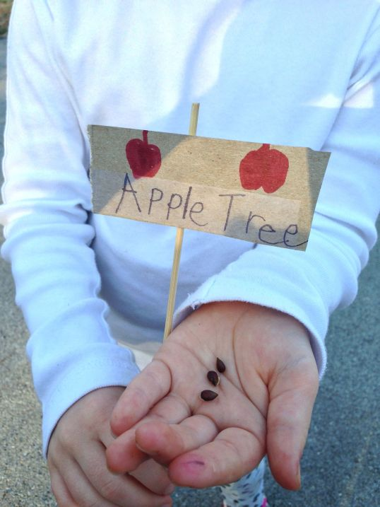 apple tree seeds